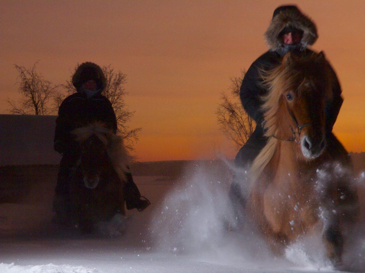 Islandshästar i skymning